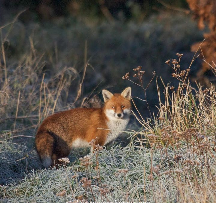 Foxes – A mammal for London