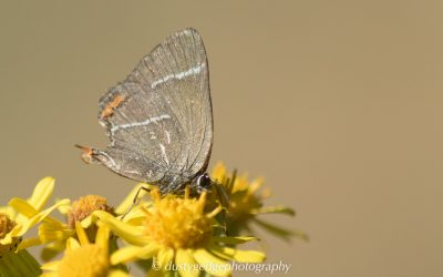 A hairstreak on the heath