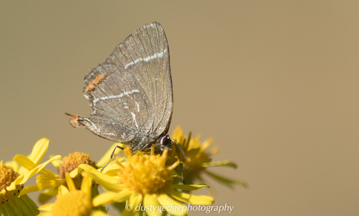 White-letter Hairstreak Blackheath