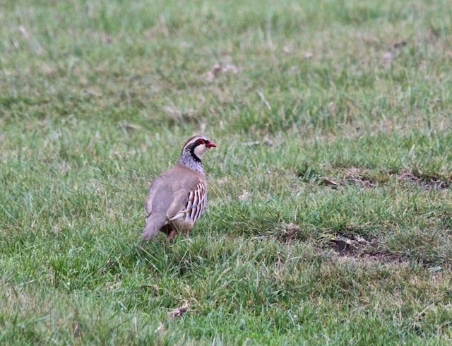 Adult Partridge - Elmley Kent