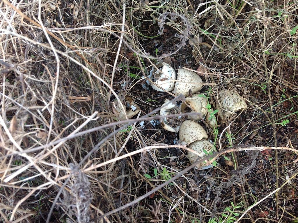 Red-legged Partridge eggs/nest - The Evidence