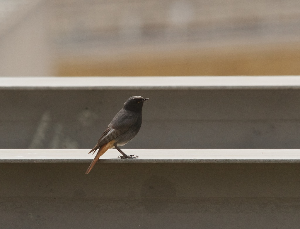 Black Redstart on a London Roof - Dusty Gedge