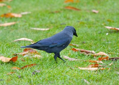 Jackdaw – Court Jesters of the Crow World