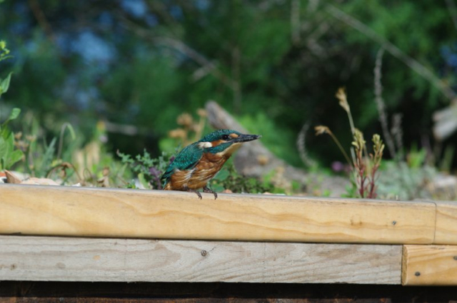 Kingfisher on a green roof in the south of France
