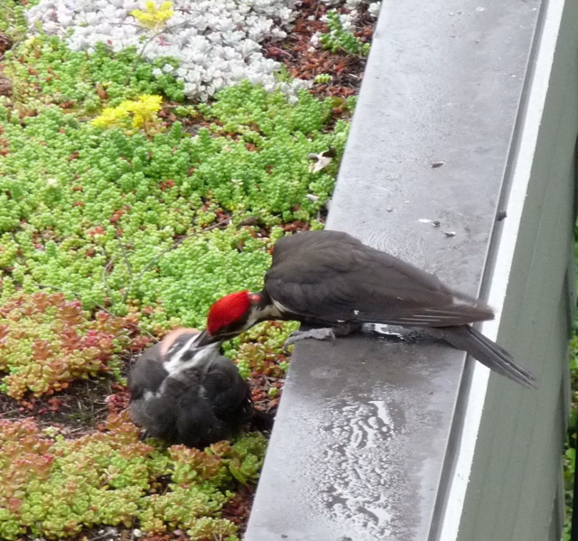 Pileated Woodpecker with chick on a green roof in Portland 2010