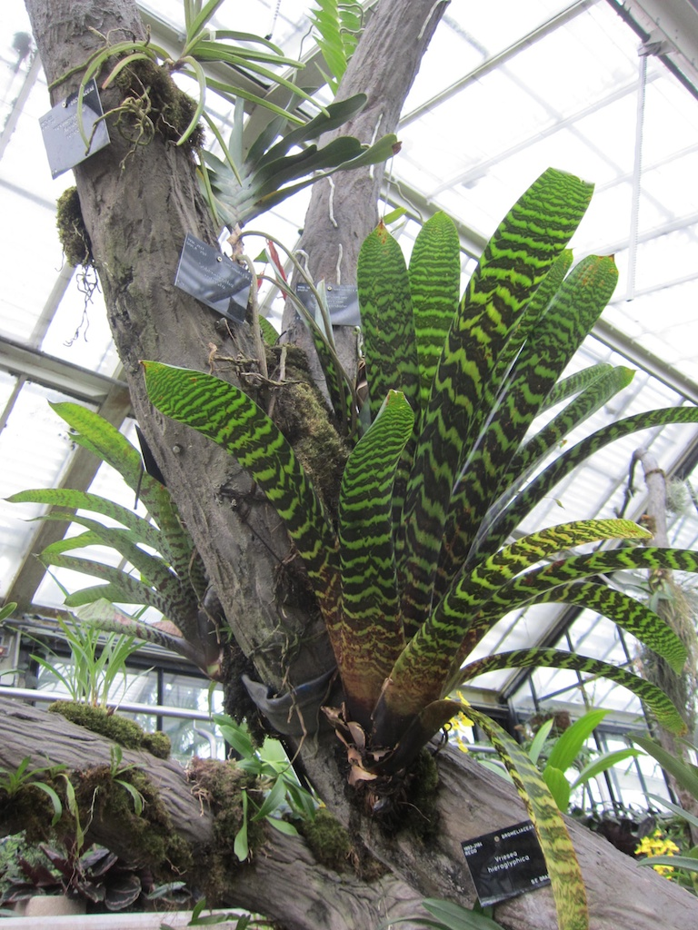 A concrete tree in the Tropical Rain forest House at Kew is covered in Bromeliads