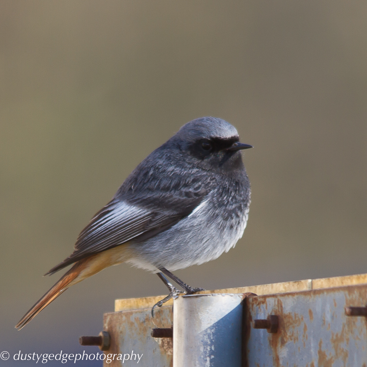 Black redstart perch on a roof - London