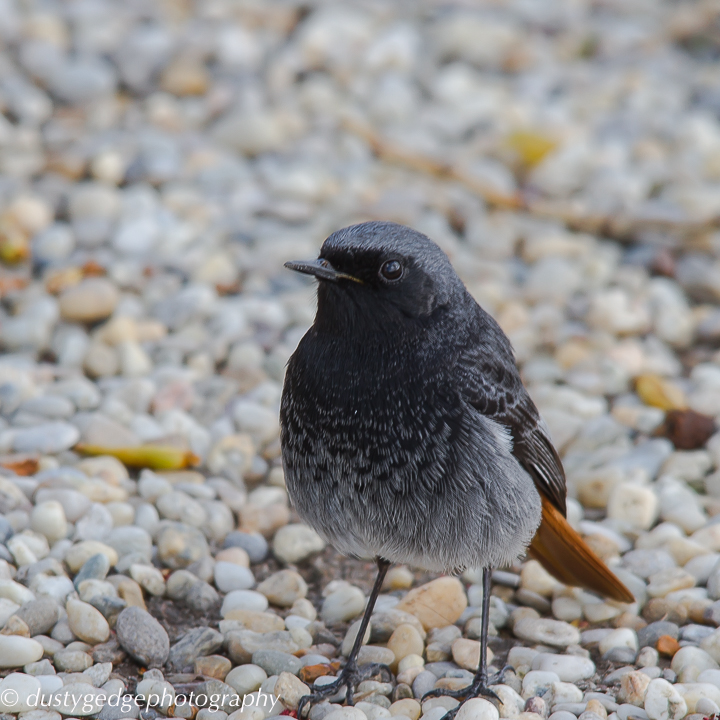 Black redstart on a gravel edge of a green roof London
