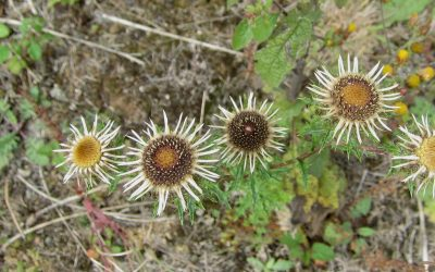 Boar's throat thistle – old brickworks Kent