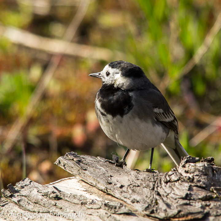 Pied wagtail on dry log - green roof London Bridge
