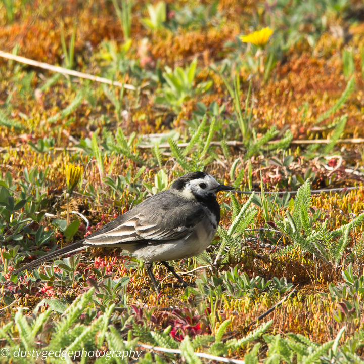 Pied wagtail on green roof edge - London