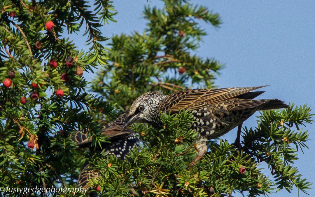 Starlings –  murmurations to breakfast