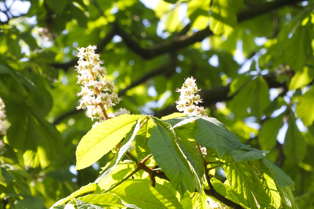 Horse chestnut blossom on my treeyear tree