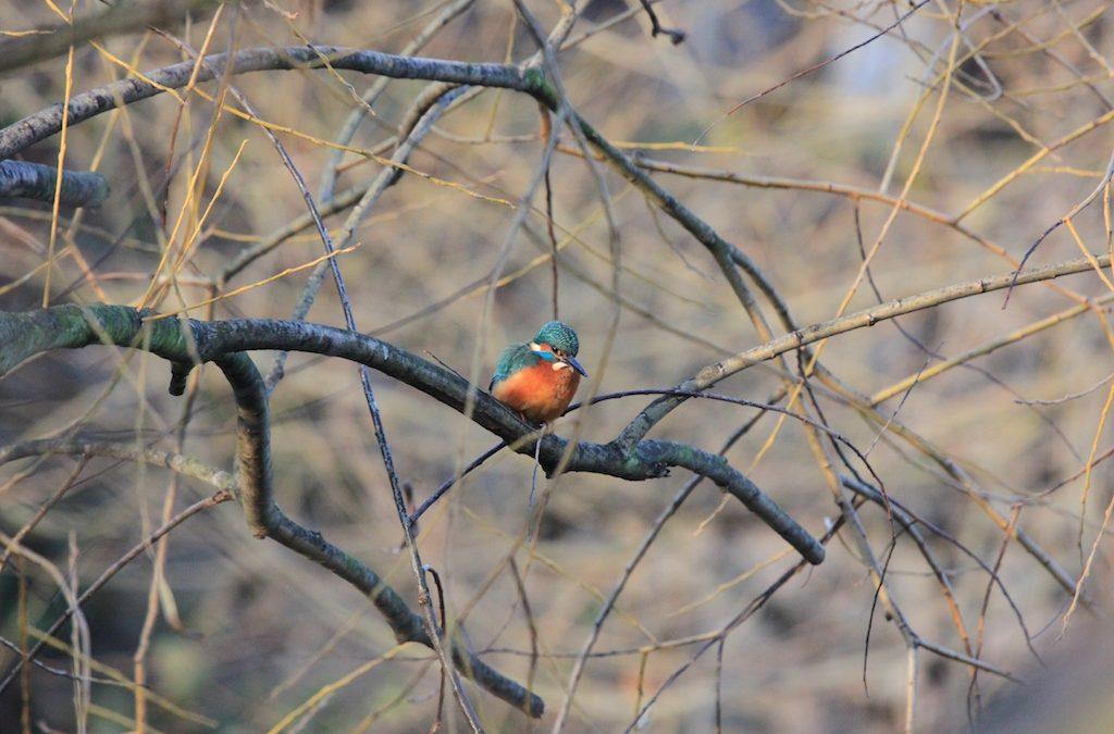 Kingfisher Day – River Ravensbourne, Lewisham