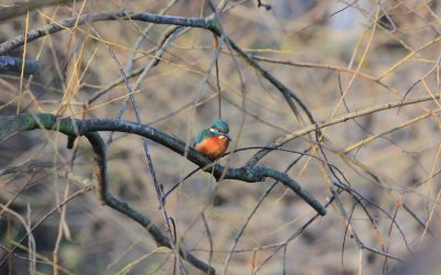 Kingfisher Day – River Ravensbourne, Lewisham