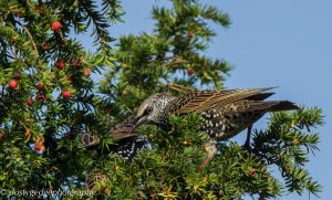 starling in yew tree