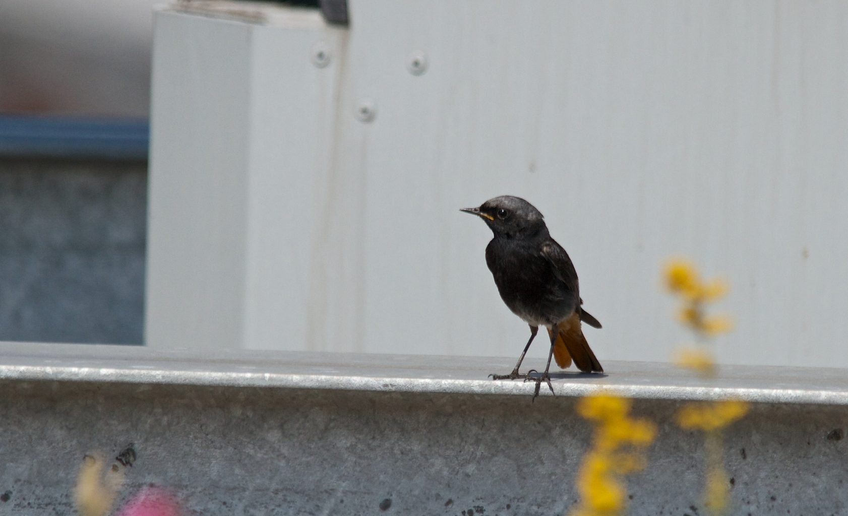 Black Redstart PWC Building London