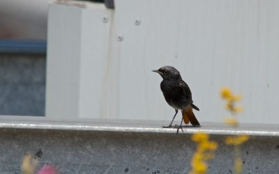 Black redstarts, a story of renewal – green roof birds 1